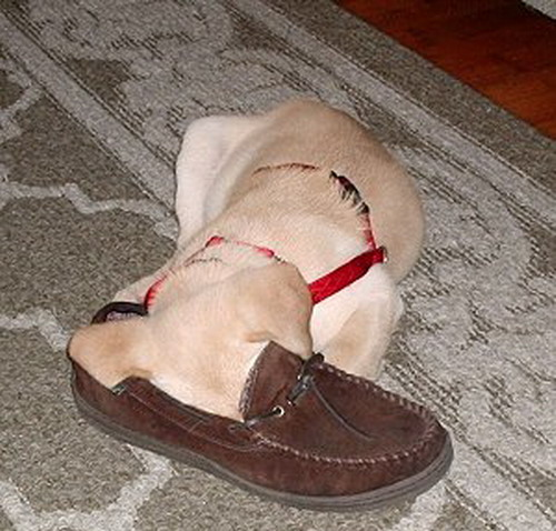 Dog Sleeping in Shoe