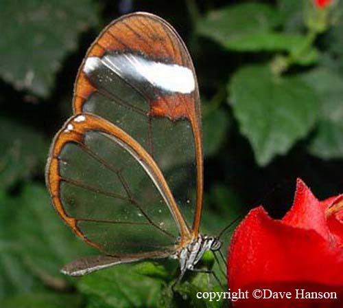 Transparent Butterfly 05
