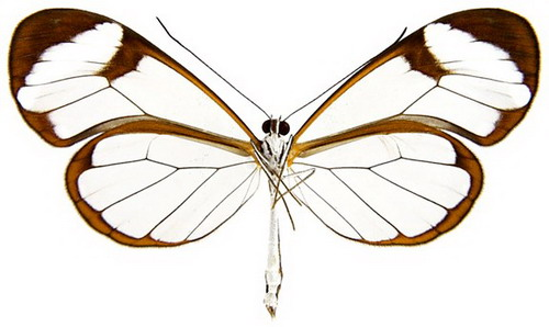 Transparent Butterfly 09