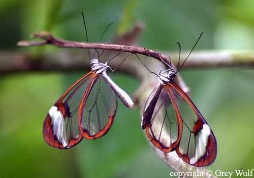 Transparent Butterfly 11