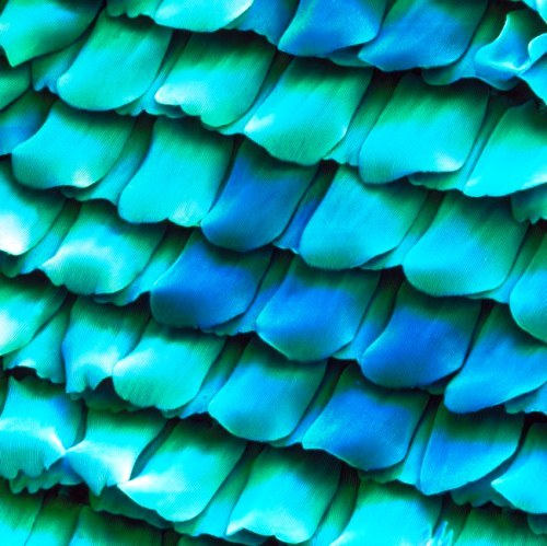 Butterfly wing detail, magnified under the microscope