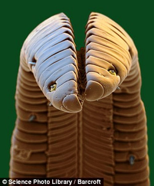 Colibri Bird tongue under the microscope